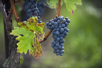Red wine grapes (Gamaret or Gamay) on a vine