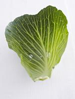 A wet white cabbage leaf