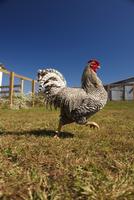Rooster Strutting in Barnyard