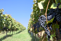 Lemberg grapes on a vine in W?erttemberg