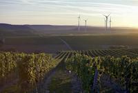 A vineyard in Deutschkreutz, Austria