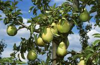Highland pears on the tree