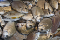 Fresh Pompano Fish at Ortigia Market in Siracusa Sicily