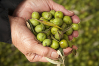 Hands Holding Fresh Picked Green Olives; Outdoors