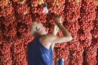 An Italian farmer checking pomodorino piennolo del Vesuvio tomatoes hanging on the wall