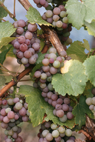Gewurztraminer grapes, Bergheim, Alsace