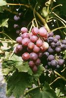 Cardinal grapes, Bergheim, Alsace