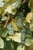 Sylvander grapes, Bergheim, Alsace