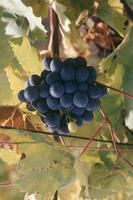 Villard noir grapes, Bergheim, Alsace