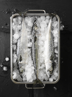 Fresh mackerel in a container of ice cubes