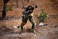 African wild dogs, Kapama, South Africa