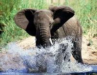 African elephant splashing, Kruger National Park, South Afri