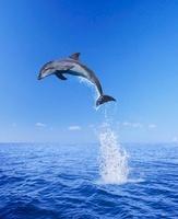 Bottlenose dolphin, South Africa