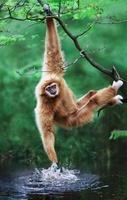 White-handed or Lar gibbon splashing (captive)