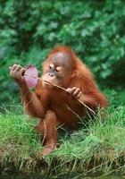 Young sumatran orangutan (captive)