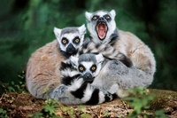 Madagascan ring-tailed lemurs, one with mouth open (captive)