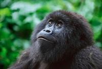 Female mountain gorilla, Parc des Virungas, Democratic Repub 22206000356| 写真素材・ストックフォト・画像・イラスト素材|アマナイメージズ