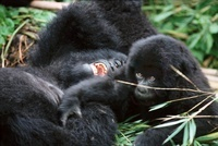 Mountain gorilla mother and baby, Parc des Virungas, Democra