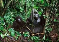 Mountain gorillas in the crater of an extinct volcano, Parc  22206000359| 写真素材・ストックフォト・画像・イラスト素材|アマナイメージズ
