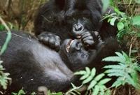Mountain gorillas, Parc des Virungas, Democratic Republic of