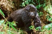 Mountain gorilla, Parc des Virungas, Democratic Republic of