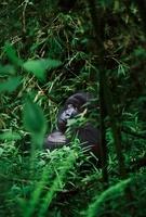 Mountain gorilla, Parc des Virungas, Democratic Republic of  22206000370| 写真素材・ストックフォト・画像・イラスト素材|アマナイメージズ