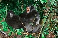 Mountain gorillas in the crater of an extinct volcano, Parc