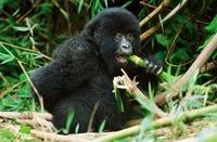 Mountain gorilla eating bamboo, Parc des Virungas, Democrati