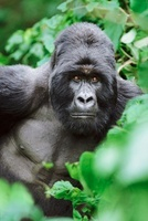 Silverback mountain gorilla, Mgahinga National Park, Uganda