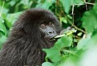 Mountain gorilla eating, Parc des Virungas, Democratic Repub