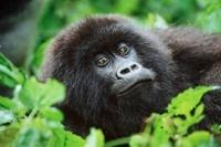 Mountain gorilla , Parc des Virungas, Democratic Republic of 22206000381| 写真素材・ストックフォト・画像・イラスト素材|アマナイメージズ