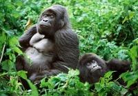 Silverback and female mountain gorillas , Parc des Virungas,