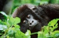 Female mountain gorilla , Parc des Virungas, Democratic Repu