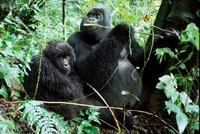 Male and female mountain gorillas, Parc des Virungas, Democr