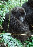 Mountain gorilla in the rain, Parc des Virungas, Democratic