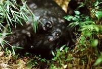 Mountain gorilla, , Parc des Virungas, Democratic Republic o