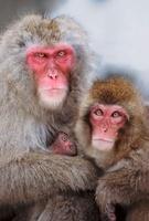 Snow monkey (Japanese macaque) family, Jigokudani National P 22206000391| 写真素材・ストックフォト・画像・イラスト素材|アマナイメージズ