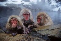 Snow monkeys (Japanese macaques), Jigokudani National Park,  22206000409| 写真素材・ストックフォト・画像・イラスト素材|アマナイメージズ
