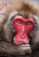 Snow monkey (Japanese macaque), Japan