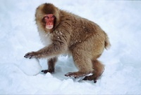 Young Snow monkey (Japanese macaque) with snowball, Japan