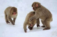 Young Snow monkeys (Japanese macaques) making a snowball, Ja