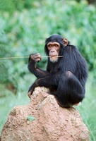 Chimp on a termite mound eating termites off a stick, Uganda