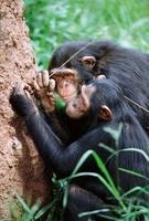 Chimpanzees using sticks as tools to fish for termites, Ugan