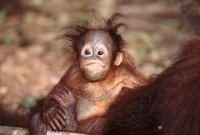 Baby Bornean orangutan, Tanjung Puting, Borneo