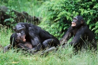 Mating pair of bonobos being disturbed by a jealous male (ca