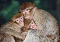 Barbary ape (rhesus macaque) family huddling together (capti