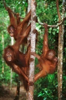 Three juvenile Bornean orangutans, Tanjung Puting, Borneo