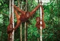 Three juvenile Bornean orangutans, Borneo