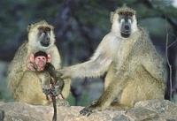 Yellow baboon family, Amboseli, Kenya