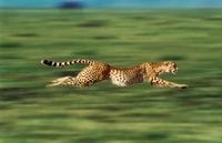 Running cheetah, Masai Mara, Kenya 22206000613| 写真素材・ストックフォト・画像・イラスト素材|アマナイメージズ